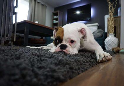 smutny pies na dywanie