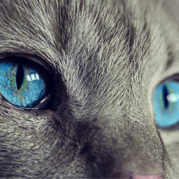 Duże, niebieskie oczy szarego kota