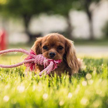 Pies z długimi włosami trzyma w zębach linę