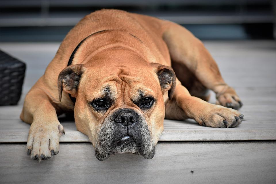 Pies biegunka