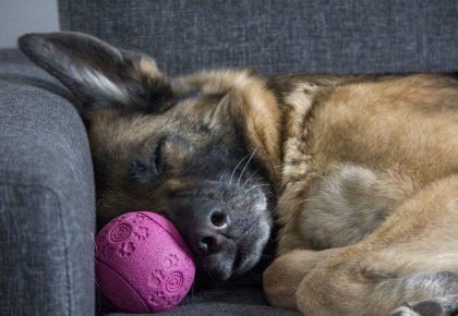 zmęczony pies śpi z piłką na kanapie