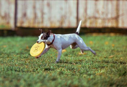 biegnący pies po zielonej polanie z frisbee w pysku