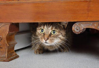 przestraszony kot chowa się pod komodą
